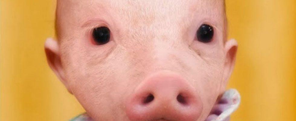 Etats-Unis: Une femme donne naissance à un bébé cochon après avoir été violée par un porc