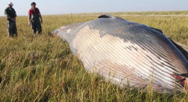 Belgique : les restes mystérieux d'une baleine trouvée dans un champ